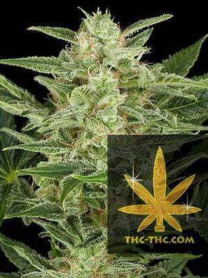 Crystal Kush Feminizowane, Nasiona Marihuany, Konopi, Cannabis
