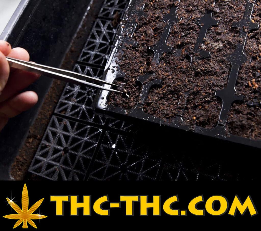 błędy podczas kiełkowania nasion marihuany