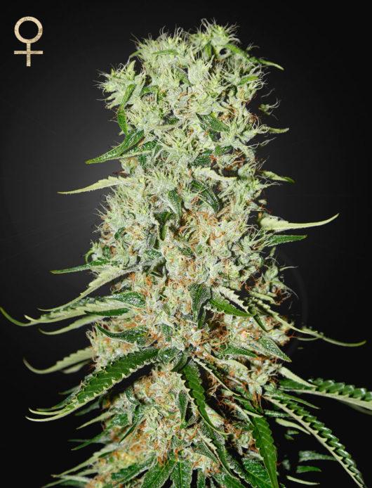 Damnesia Feminizowane, Nasiona Marihuany, Konopi, Cannabis