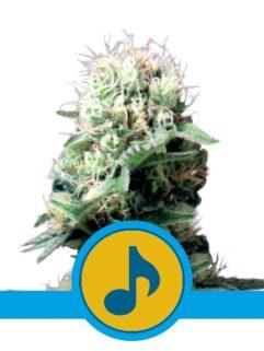Dance World Feminizowane, Nasiona Marihuany, Konopi, Cannabis