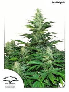 Dark Delight Feminizowane, Nasiona Marihuany, Konopi, Cannabis