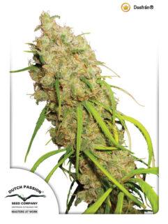 Desfran Feminizowane, Nasiona Marihuany, Konopi, Cannabis