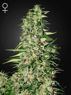 Diamond Girl Feminizowane, Nasiona Marihuany, Konopi, Cannabis