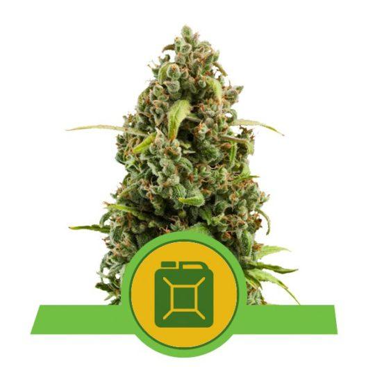 Diesel Automatic Feminizowane, Nasiona Marihuany, Konopi, Cannabis