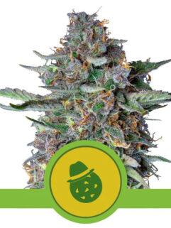 Do-Si-Dos Automatic Feminizowane, Nasiona Marihuany, Konopi, Cannabis