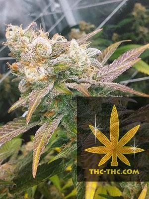 Dream Berry Feminizowane, Nasiona Marihuany, Konopi, Cannabis