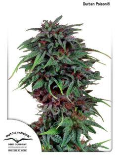 Durban Poison Regularne, Nasiona Marihuany, Konopi, Cannabis
