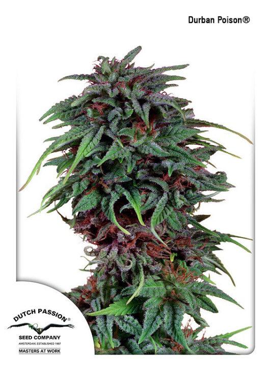 Durban Poison Feminizowane, Nasiona Marihuany, Konopi, Cannabis