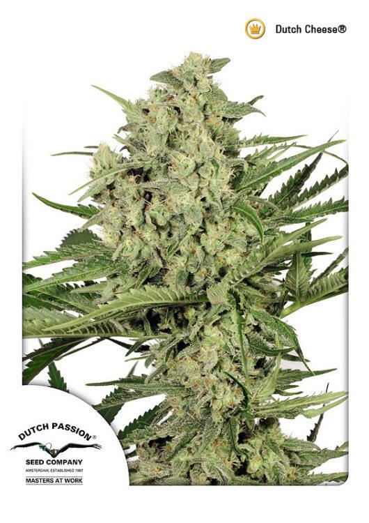 Dutch Cheese Feminizowane, Nasiona Marihuany, Konopi, Cannabis