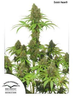 Dutch Haze Feminizowane, Nasiona Marihuany, Konopi, Cannabis