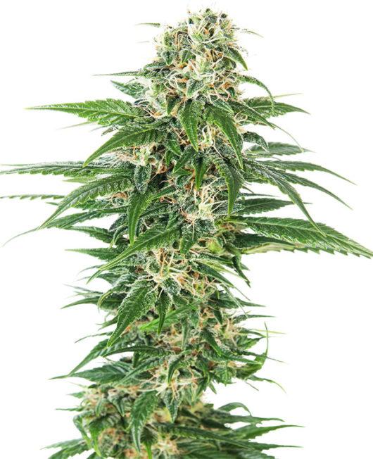 Early Skunk Automatic Feminizowane, Nasiona Marihuany, Konopi, Cannabis