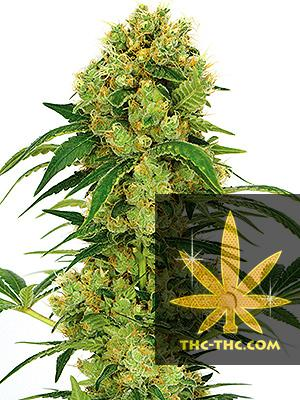 Early Skunk Feminizowane, Nasiona Marihuany, Konopi, Cannabis