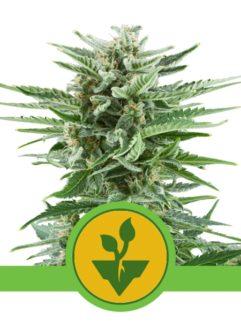 Easy Bud Automatic Feminizowane, Nasiona Marihuany, Konopi, Cannabis