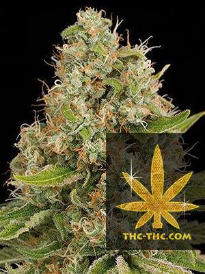 Easy Plant XXL Automatic Feminizowane, Nasiona Marihuany, Konopi, Cannabis