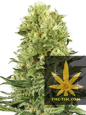 Easy Sativa XXL Feminizowane, Nasiona Marihuany, Konopi, Cannabis