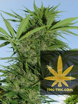 Easy Sativa Feminizowane, Nasiona Marihuany, Konopi, Cannabis