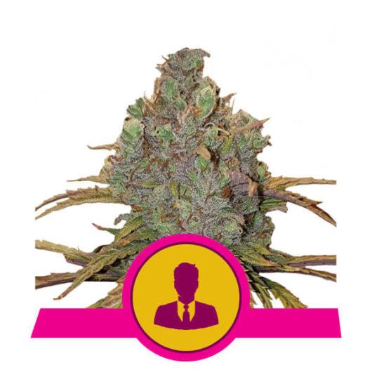 El Patron Feminizowane, Nasiona Marihuany, Konopi, Cannabis
