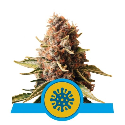 Euphoria Feminizowane, Nasiona Marihuany, Konopi, Cannabis