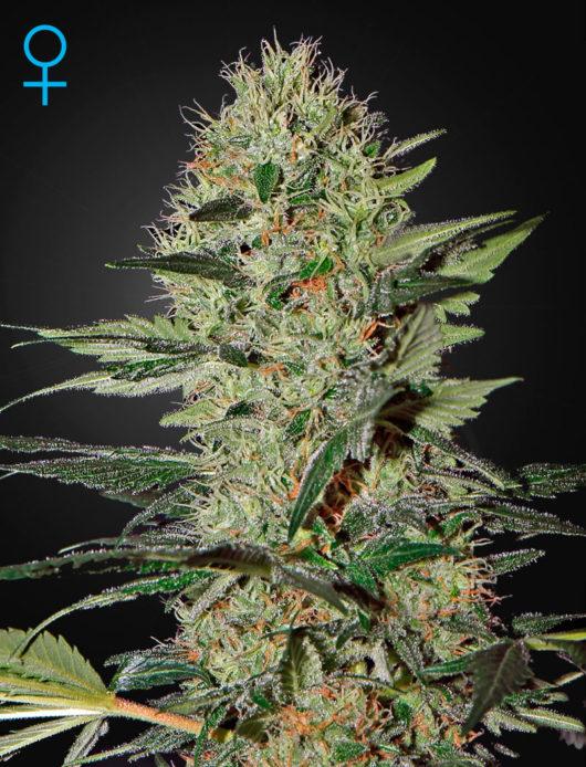 Exodus Cheese Automatic Feminizowane, Nasiona Marihuany, Konopi, Cannabis