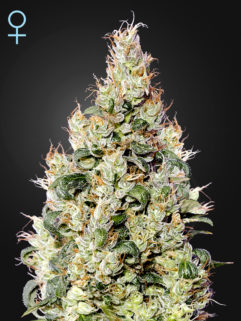 Exodus Cheese CBD Automatic Feminizowane, Nasiona Marihuany, Konopi, Cannabis