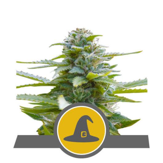 Exotic Witch Regularne, Nasiona Marihuany, Konopi, Cannabis