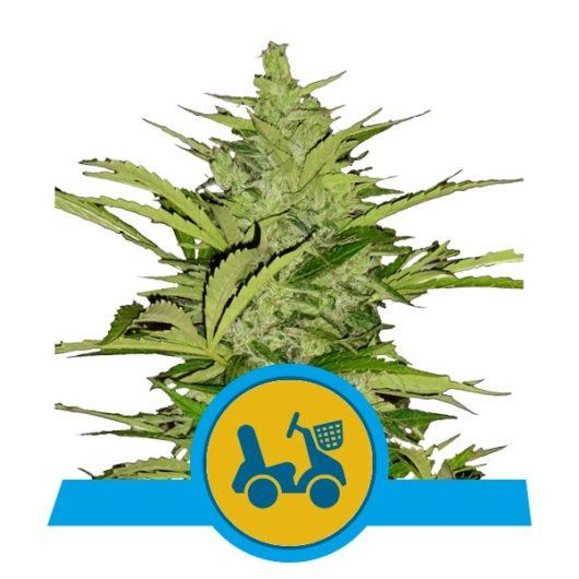 Fast Eddy CBD Automatic Feminizowane, Nasiona Marihuany, Konopi, Cannabis