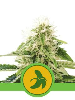 Fat Banana Automatic Feminizowane, Nasiona Marihuany, Konopi, Cannabis