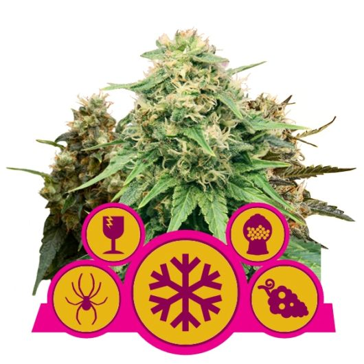 Feminized Mix - Royal Queen Seeds, Nasiona Marihuany, Konopi, Cannabis