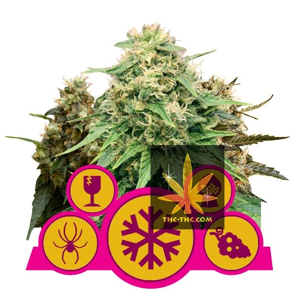 Feminized Mix 5szt - Royal Queen Seeds