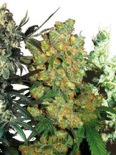 Feminized Mix - Sensi Seeds, Nasiona Marihuany, Konopi, Cannabis