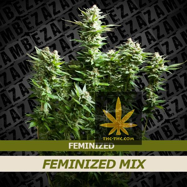 Mix Femi Indoor Zestaw 1 - Zambeza Seeds