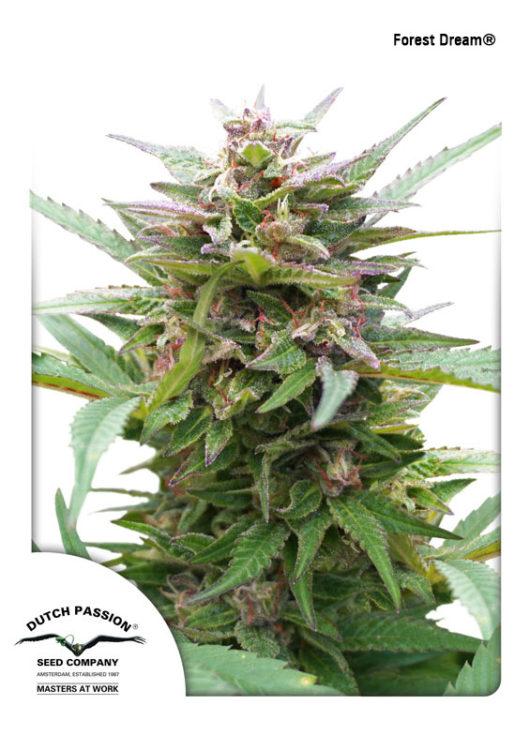 Forest Dream Feminizowane, Nasiona Marihuany, Konopi, Cannabis