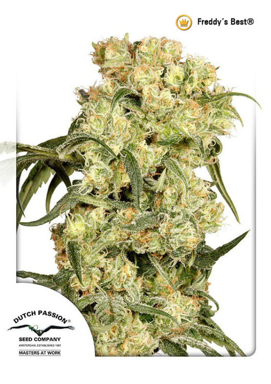 Freddys Best Feminizowane, Nasiona Marihuany, Konopi, Cannabis
