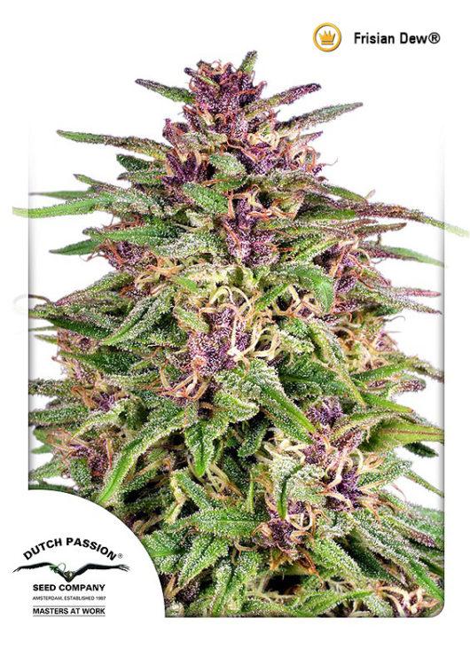 Frisian Dew Feminizowane, Nasiona Marihuany, Konopi, Cannabis