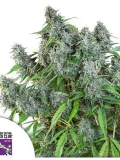 Frosty Friday Regularne, Nasiona Marihuany, Konopi, Cannabis