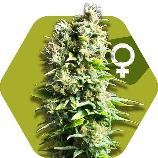 Fruit Juice Feminizowane, Nasiona Marihuany, Konopi, Cannabis