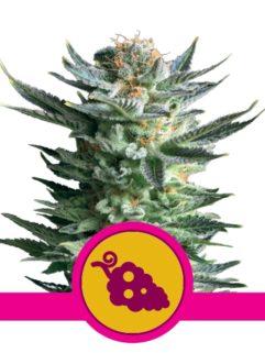Fruit Spirit Feminizowane, Nasiona Marihuany, Konopi, Cannabis