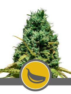 Garlic Mist Regularne, Nasiona Marihuany, Konopi, Cannabis