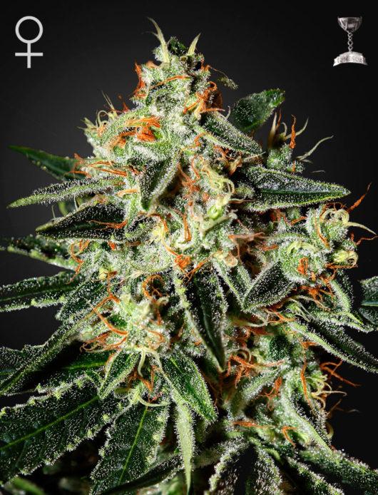 GH Cheese Feminizowane, Nasiona Marihuany, Konopi, Cannabis