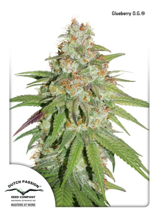 Glueberry O.G. Feminizowane, Nasiona Marihuany, Konopi, Cannabis
