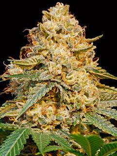 Gold Mery Automatic Feminizowane, Nasiona Marihuany, Konopi, Cannabis