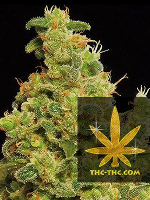 Gold Mery Feminizowane, Nasiona Marihuany, Konopi, Cannabis
