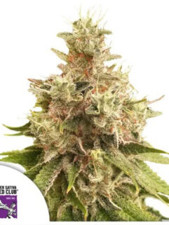 Golden Apple Haze Regularne, Nasiona Marihuany, Konopi, Cannabis
