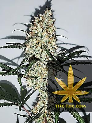 Grape Amnesia Feminizowane, Nasiona Marihuany, Konopi, Cannabis
