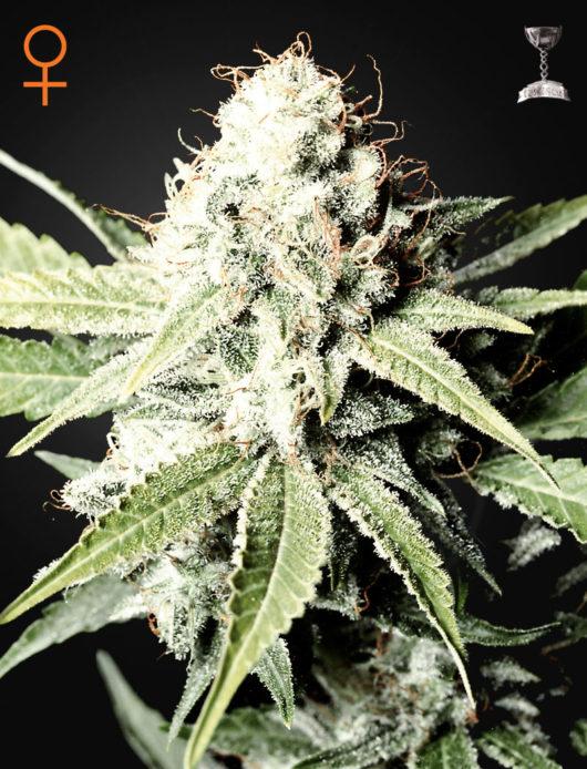 Great White Shark Feminizowane, Nasiona Marihuany, Konopi, Cannabis