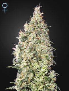 Great White Shark CBD Feminizowane, Nasiona Marihuany, Konopi, Cannabis
