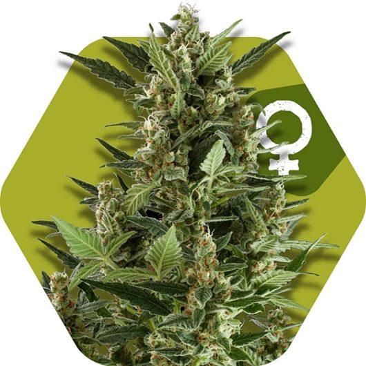 Green AK XL Feminizowane, Nasiona Marihuany, Konopi, Cannabis