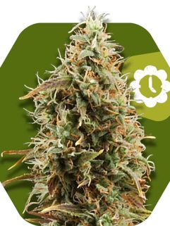 Green AK XL Automatic Feminizowane, Nasiona Marihuany, Konopi, Cannabis