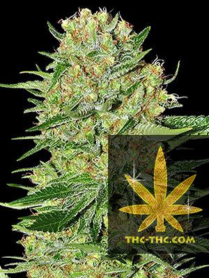 Green Bud Automatic Feminizowane, Nasiona Marihuany, Konopi, Cannabis