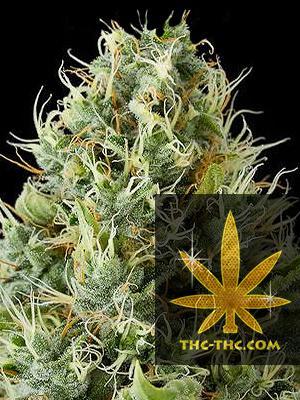 Green Bud Feminizowane, Nasiona Marihuany, Konopi, Cannabis